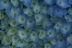 #blauw #hortensia