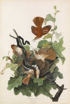 """John James Audubon, Plate 116: Ferruginous Thrush. Aquatint from """"The Birds of America,"""" First edition engraving with original hand-color. Published by Robert Havell: London, 1827-1838. Measurements: 38 1/8 x 25 5/8 inches."""