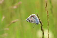 Photo about Polyammatus icarus butterfly with small small eyes. Green background and thin weed waiting to be put on. Elegant and very small butterfly. Image of insects, hardworking, colors - 117873793