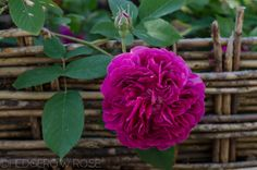 Erinnerung an Brod | Types of Roses | Hedgerow Rose