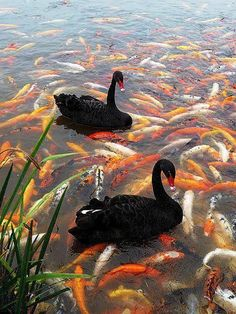 """Koi fish are the domesticated variety of common carp. Actually, the word """"koi"""" comes from the Japanese word that means """"carp"""". Outdoor koi ponds are relaxing. Pretty Birds, Beautiful Birds, Animals Beautiful, Beautiful Swan, Nature Animals, Animals And Pets, Cute Animals, Wild Animals, Baby Animals"""