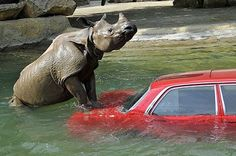 """""""Spell my name wrong one more time!!!"""" There is only ever one winner when a car and a Rhinoceros go head to head. Check these other hilarious moments out here..."""
