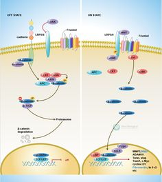 Sino Biological: Canonical Wnt Scientific Pathway Poster