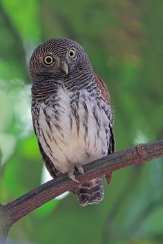 Chestnut- Backed Owlet - Sri Lankan Endemic Birds - Pitathabala Vana-Bassa (Glaucidium castanonotum)