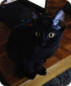 Orange, CA - Domestic Shorthair. Meet Jasper, a cat for adoption. http://www.adoptapet.com/pet/12531888-orange-california-cat