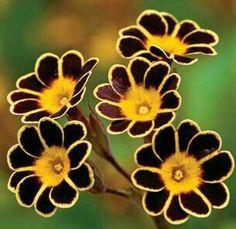 The aptly named Bumblebee primrose. - Garden Style - The aptly named Bumblebee primrose. The aptly named Bumblebee primrose.