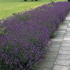 Munstead Lavender Seeds - Plant with rosemary or any other perennial for borders
