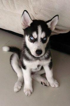 Husky the eyes are sooo cute!!!