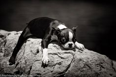 Boston Terrier Puppy on the rock by Seth Casteel. *Featured on www.bterrier.com