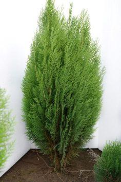 Tuia Orientalis Morgan 60-70 cm Decoration Plante, Buxus, Hibiscus, The 100, Herbs, Gardens, Outdoor Gardens, Herb, Garden