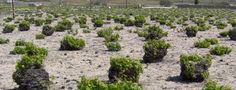Greece Santorini bush vine basket
