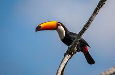 20160827 - Tucanuçu | toco toucan (Ramphastos toco) 27-08 | por Marcelo Dias Müller