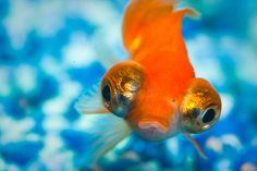 Gold fish ~ This is a celestial eye.  Though usually their eyes will look more up.  (like toward heaven, hence their name.  I used to have all kinds of fancy goldfish.  My favorites are orandas and the lion fish.