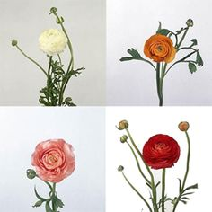 Vivid colors coupled with a fun bloom structure make Ranunculus highly sought after fresh cut flowers for weddings and events. Available year-round from South America, Holland and California, these charming flowers can be found in bridal bouquets, bridesmaid bouquets and other arrangements of wedding flowers all year long. Visit The Grower's Box for an outstanding selection of fresh cut wholesale wedding flowers.