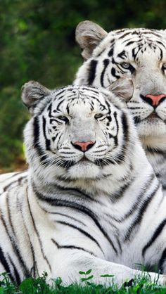 white_bengal_tigers_lie_down_striped_big_cats_couple