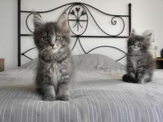 Bed time! - Maine Coon