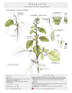 Amaranth. These are pages from the book Foraging & Feasting: A Field Guide and Wild Food Cookbook by Dina Falconi and illustrated by Wendy Hollender. Published by Botanical Arts Press. Learn more about the book and how to purchase at www.botanicalartspress.com.