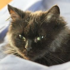 Victoria is an adoptable Domestic Long Hair - Brown Cat in Verdun, QC. Victoria is very peculiar. She's about the same size as a kitten and looks like a little chow-chow (Chinese breed of dog). Her lo...
