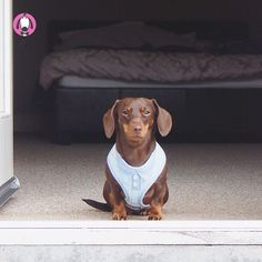its dapper Sunday. Another new harness by Wagytail! You likey? Pet Boutique, Mini Dachshund, Sunday Morning, Cuddling, Meant To Be, Take That, In This Moment, Pets, Dublin