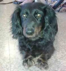 Frankie is an adoptable Dachshund Dog in White Plains, NY. Frankie is a purebred doxy. He is approx. 3 or 4 years-old.A real couch potato and a mush - loves other dogs and cats.An easy dog, very m...  WHAT A PRECIOUS DOGGIE