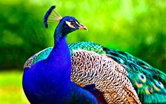Peacock is a majestic bird palaces 14