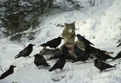 http://ama-ar-gi.tumblr.com/post/75472172919/the-raven-is-sometimes-known-as-the-wolf-bird