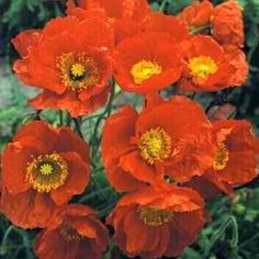 Large red Iceland Poppies