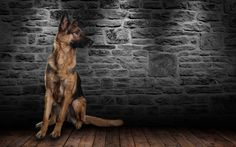 German shepherd - null