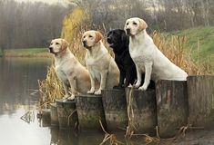 Mind Blowing Facts About Labrador Retrievers And Ideas. Amazing Facts About Labrador Retrievers And Ideas. I Love Dogs, Cute Dogs, Homeless Dogs, Most Popular Dog Breeds, Labrador Retriever Dog, Lab Puppies, Working Dogs, Image Hd, Happy Dogs