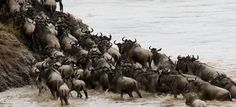 Ever watched the spectacular annual migration in vast masai mara.here is your chance to witness it with edmac tours and travel Kingfisher Bird, Out Of Africa, Baboon, African Animals, Tanzania, Kenya, Safari, Travel Destinations, Beautiful Places