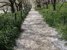Cherry Blossoms 7...When the petals scattered from the tree of cherry build a road, cherry blossom season ends.