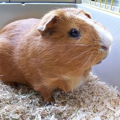 "Where do guinea pigs come from? The Andes! Guinea pigs are neither pigs nor from Guinea. The origin of its common name is unclear, it may be a re-analysis of ""Guyana"", though they originate from the Andes and not Guyana."