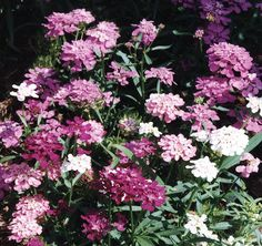 The plants of this variety are shorter than the Hyacinth flowered candytuft, 18 inches, but are very impressive. A mixture of colors that show just about every color shade from pink to dark purple, wi