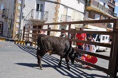 Santacara: Vacas de Vicente Domínguez - Año 2016 (5)