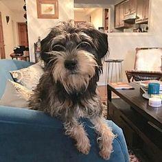 New York, New York - Standard Schnauzer. Meet Rob, a for adoption. https://www.adoptapet.com/pet/20887708-new-york-new-york-standard-schnauzer