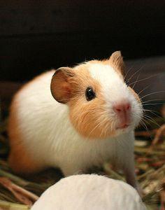 Those ears! Those guinea pig ears