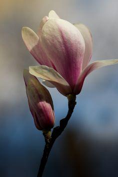 Magnolia Soulangeana by sir20