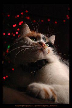 Christmas kitty by demony on DeviantArt Kittens Cutest, Cats And Kittens, Cute Cats, Christmas Kitten, Christmas Animals, Merry Christmas, Baby Animals, Cute Animals, Curiosity Killed The Cat