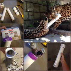 From ZooKreepers: Thought I'd share some easy cheap enrichment. PVC rattles! All it takes is some PVC, end caps and PVC glue. Cut PVC to desired size and prime/glue an end cap on. Fill 1/5 to 1/4 of the way with rocks. Prime/glue other end cap on. DONE. It's stood up to Malayan tigers, snow leopards and jaguars so far. Actually the only thing to break one has been...me.