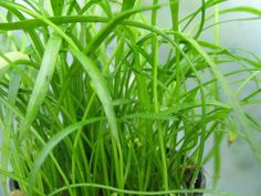 Lilaeopsis is highly popular aquarium plant. Its also known as Brazilian Micro Sword and popular grass . Lilaeopsis can grow quickly. It doesnt demand a lot of light. Lilaeopsis can be attached to bog wood or rocks.