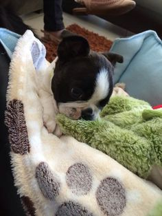 The many things we admire about the Small Boston Terrier Puppies I Love Dogs, Cute Dogs, Toy Fox Terriers, Terrier Puppies, Boston Bull Terrier, American Dog, Mans Best Friend, Dogs And Puppies, Doggies