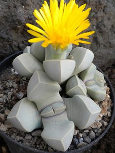 Lapidaria margaretae by Succulents Love, via FlickrLooks like stone but is not. Lapidary margarethae is a very attractive miniature, which seems to have been carved in stone. Produces a bright yellow flower. Native of Namibia.