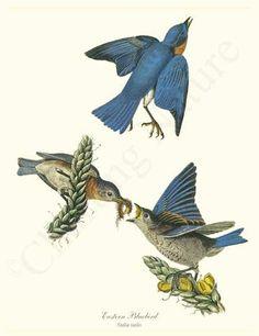 Eastern Bluebird Vintage Bird Illustration, by James Audubon. Giclee Art Print $34.95
