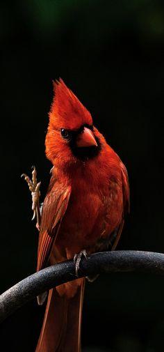 Got Cardinal snacks? All Birds, Little Birds, Love Birds, Pretty Birds, Beautiful Butterflies, Beautiful Birds, Bird Pictures, Animal Pictures, Wildlife Photography