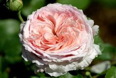 JAMES GALWAY-David Austin describes it like this A superb large shrub with long, slightly arching, almost thorn-less growth. This is a tough disease-free rose that is excellent for the back of a mixed border can also be grown as a climber. The flowers are Thornless Roses, James Galway, Mixed Border, Heirloom Roses, Old Rose, David Austin Roses, Growing Roses, Hybrid Tea Roses, Rose Bush