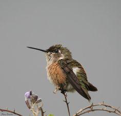 Female of an Amethyst Woodsta - Brazil