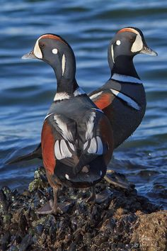 Harlequin Duck. I used to tag these in Montana