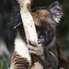 Beautiful (but a little bit camera shy!) koala in Tower Hill Wildlife Reserve in Victoria Australia #koala #koalabear #wildkoala #wildlife #wildlifereserve #nature #animal #animals #nikon #tamron  #beautiful #fluff #fluffy #towerhill #towerhillwildlifereserve #warrnambool #victoria #australia #laurenshawyer by laurenshawyerphotography