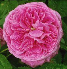 Yolande d'Aragon, rosier puissamment parfumé, est dédié à la princesse la plus belle de la chrétienté ! C'est l'un des plus beaux Portland, par son port érigé et son ample feuillage vert tendre qui met en valeur des fleurs très doubles, d'abord sphériques puis plates, au coloris rose soutenu. Arbuste 1 m à 1,50 m, lérèrement remontant, pas trop sujet aux maladies. Portland. Vibert, 1854