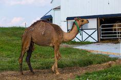 camel Non-Traditional Farm Animals | 10 Uncommon Animals Found on The Farm